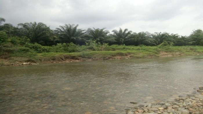 Tampak Pohon sawit milik PT JS yang ditanam dipinggir sungai Air Keruahan Pino Raya