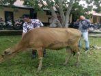 BB satu ekor sapi betina saat di Polres BS sebelum dibawa pulang pemiliknya
